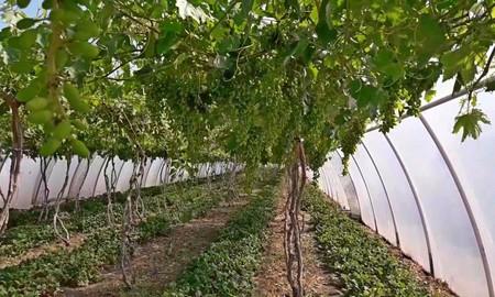 виноград в закрытом грунте