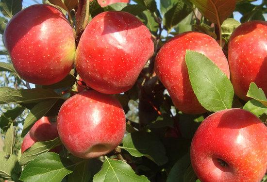 яблоко Ариан