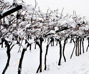зимостойкость винограда